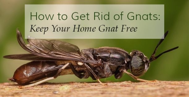 How to Get Rid of Gnats | Home Remedies to Prevent Gnats